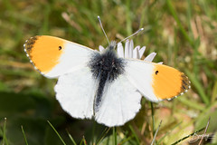 4B9A1498 Ornage Tip 190604 GRDN copy (Glenn Beasley) Tags: butterfly butterflies anthochariscardamines macro insect male orangetip