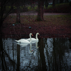 Swans are scouting for automn Signs / Les Cygnes scrutent les signes de l'automne arrivant (rs.Sophie) Tags: automn scouting cygne cygnes signs signes automne red trees outdoor water landscape mouvement zen nature swan swans