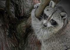 Animal Portraits - Raccoon Redux (KWPashuk (Thanks for >3M views)) Tags: nikon d3000 tamron tamron150600mm lightroom luminar luminar2018 luminar3 kwpashuk kevinpashuk raccoon animal portrait wildlife outdoors nature urbanwildlife oakville ontario canada