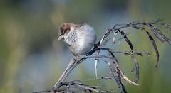 House Sparrow - male (njohn209) Tags: birds d500 nikon nz