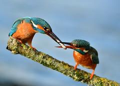 ijsvogel Common Kingfisher (Rob Keulemans) Tags: 2019 ijsvogel nederland wild copyright rob keulemans visoverdracht