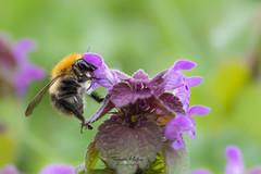 Even bijtanken (mattiasfurniere) Tags: macro macroworld bumblebee flower macrophotography nature naturephotography macrofotografie akkerhommel