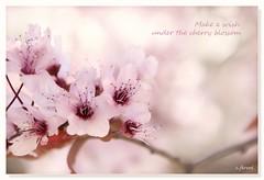 Make a  wish under the cherry blossom!❤🍒 (c.ferrol) Tags: sakura blossom cherry rosa pink pastel soft primavera floración pétalos
