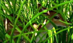 Look who I found hiding in the high grass :) (Shara Thiva) Tags: second life sl grass fawn animal sunrise outlet easter hunt