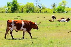 Longhorn Cow and Calf (austexican718) Tags: cattle cow longhorn centraltexas hillcountry spring pasture meadow ranch farm animal critter gillespiecounty fredericksburg rural grass trees sky calf