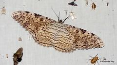 Birdwing Moth, White witch, Thysania agrippina (Ecuador Megadiverso) Tags: andreaskay birdwingmoth ecuador erebidae ghostmoth greatgreywitch greatowletmoth moth thysaniaagrippina whitewitch wildsumaco