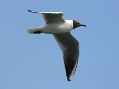 Seagull, Southampton, June 25th 2008 (Southsea_Matt) Tags: southampton hampshire england unitedkingdom june 2008 summer canon 30d seagull bird