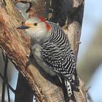 5037e Red-bellied Woodpecker thumbnail