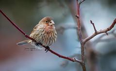 House finch (idvisions) Tags: wildlife wetlands wetland explore thewonderfulworldofbirds outdoor interestingness bird birds canoneos7d housefinch housefinchs
