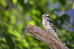 Downy Woodpecker (John Mullen1) Tags: birds downywoodpecker pocoidespubescens