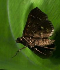Sooty Bead chain moth Syllepte sp Spilomelinae Crambidae Airlie Beach Rainforest P1050285 (Steve & Alison1) Tags: sooty bead chain moth syllepte sp spilomelinae crambidae airlie beach rainforest