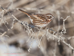 Song Sparrow on a Frosty Morning (Fly to Water) Tags: song sparrow songbird perch perching perched melospiza melodia bird photography avian drab outdoors wild wildlife utah winter frost nature