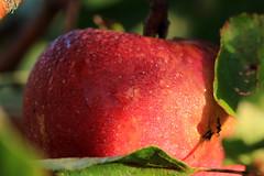 Looking close... on Friday - Apples (Ramunė Vakarė) Tags: lookingcloseonfriday apples nature lithuania eičiai ramunėvakarė light dew