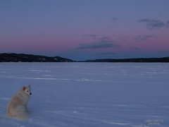 Waiting for the Moon (Vision Acuity) Tags: winter snow dog sunset clouds ice wilderness trees