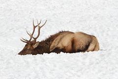 Nap time (jlcummins) Tags: oakcreekwildlifearea naches elk wildlife mammal yakimacounty washingtonstate