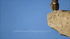Little Owl (Athene noctua) Medinet Habu - Luxor Egypt Dec 2018 (Amberinsea Photography) Tags: owl bird birdphotography egypt medinethabu temple voyage travel amberinseaphotography littleowl athenenoctua minervauggla beautiful pretty