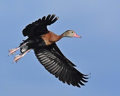 Flying in (dina j) Tags: floridawildlife floridabirds florida bird wildlife duck whistlingduck blackbelliedwhistlingduck whistler animal outdoors nature nikon nikond7200 circlebbarreserve