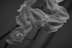 Schräge Zeiten (richard.kralicek.wien) Tags: blackandwhite orchids flowers