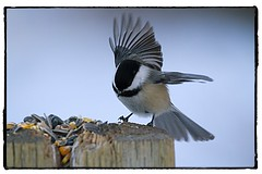Black-Capped Chickadee landing to take some feed. #photography #photooftheday #photoadaychallenge #canon7d #sigma150600 #nature #opcmag #project365 #yyc #calgary #chickadee #winter #feed (PSKornak) Tags: photography photooftheday photoadaychallenge canon7d sigma150600 nature opcmag project365 yyc calgary chickadee winter feed bird selfportrait blackcappedchickadee alberta canada