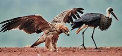 ZIM_6684 (lucvanderbiest) Tags: tawnyeagle savannearend scavengershide woollyneckedstork bisschopsooievaar zimangaprivatereserve southafrica