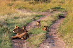 Mama Lioness and 3 Cubs (Jill Clardy) Tags: explored explore lion lioness cubs three morning road grass savannah kenya africa 201902269l8a2166 mara reserve maasai
