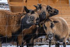 Winter Goats - January 2019 III (boettcher.photography) Tags: winter januar january schnee snow germany deutschland badenwürttemberg neckargemünd dilsberg ziegen goats animals tiere sashahasha boettcherphotography boettcherphotos 2019