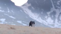 Born Free (JJFET) Tags: border collie sheepdog dog paddy