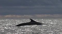 Fin Whale arching back whilst swimming on the surface (Paul Cottis) Tags: elephantisland marine mammal southshetlandislands antarctica southernocean paulcottis 31 january 2019 jan swim swimming whale cetacean fin