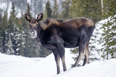 Silver Gate mother moose (Upstate Dave) Tags: 2018 silvergate 3 majorplaces mammals geographicname moose yellowstone places yellowstonenationalpark