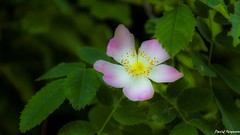 Prarie Rose Blossom (Daveoffshore) Tags: prarie rose blossom flower