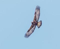 Golden Eagle (snooker2009) Tags: bbird eagle golden raptor nature wildlife flight migration bird
