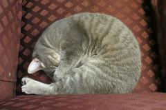 Millie 17 February 2019 2455 (edgarandron - Busy!) Tags: millie graytabby cat cats kitty kitties tabby tabbies cute feline
