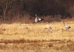 Kung Fu Crane (stempel*) Tags: polska poland polen polonia gambezia pentax k30 nature kung fu kungfu crane grus żuraw mating dancing