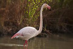 Pink flamingo (JLM62380) Tags: pink flamingo flamant rose camargue france eau oiseau nature migration