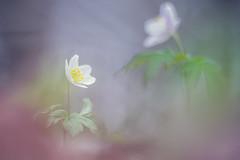 Le reflet de mon âme (Thomas Vanderheyden) Tags: flore flora fleur flower nature beautifulearth ngc naturesfinest bokeh dream reve vegetal colors couleur couleurbokeh natur thomasvanderheyden samyang135mm fujifilm xt1