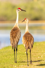 Out For A Walk (hetrickwesley) Tags: 150600 2019 80d alachua canon contemporary florida floridastateparks gainesville march nature outdoors paynesprairie prairie sigmalens statepark sweetwaterwetlands sweetwaterwetlandspark wildlife sandhillcrane crane grey birdred large pair couple