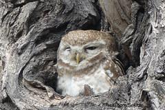 Little owl - Steinkauz, Bharatpur, Keoladeo Ghana National Park (Sekitar) Tags: india rajasthan southasia little owl steinkauz bharatpur keoladeo ghana national park