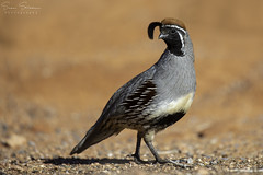 Gambel's Quail (In Explore) (Sean Stubben) Tags: nature wildlife nevada quail desert red photography naturephotography wildlifephotography birding birds animals