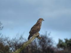 Buzzard (Simply Sharon !) Tags: buzzard birdofprey wildlife britishwildlife nature march yorkshirewildlifepark