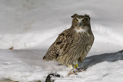 Blakiston's Fish Owl (Alexandre & Chloé Bès - Waitandshoot Photography) Tags: canon exterieur nature forest outdoor animal extérieur winter snow wind japon hokkaido neige close japan compagnie chouette grand duc blakiston fish owl bird oiseaux