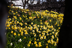 Edinburgh Daffodils in Spring March 2019-62 (Philip Gillespie) Tags: edinburgh scotland spring 2019 march flowers daffodil blooms stems petals colour color yellow blue green black white blackandwhite mono monochrome canon 5dsr park outdoor nature day light sky sun clouds sunny water forth firth lothian hills buildings architecture urban cityscape parkland public men woman boys girls splash fountain people family walking feet legs orange