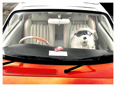 Going Doggin' (The Stig 2009) Tags: thestig2009 thestig stig 2009 2019 tony o tonyo pet dog glasses stuffed toy fun candid nissan figaro passenger doggin dogging