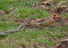Female Cardinal (thoeflich) Tags: femalecardinal cardinal