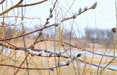 pussy willow (Salix discolor) male catkins at Cardinal Marsh IA 653A6596 (naturalist@winneshiekwild.com) Tags: pussy willow salix discolor male catkins cardinal marsh winneshiek county iowa larry reis