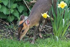 Garden muntjac (pstani) Tags: england essex europe greatbritain walton waltononthenaze woodberryway animal barkingdeer deer fauna muntjac