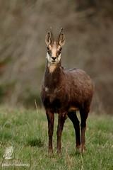 Chamois (Cantal) (pm100%nature19) Tags: cantal 15 auvergne mammifère animal chamois