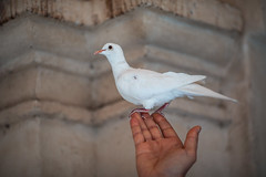Assisi (endorphin75) Tags: 2018 perugia italian assisi pigeon city italia umbria dove italy white