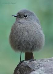 Angry Birds (Jose A. Casal) Tags: pajaros2019