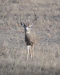 Mule Deer-21 (trdunn) Tags: muledeer colorado weldcounty wildlife animal easternplains nature buck atypical fall antlers
