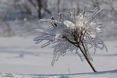 Bouquet de glace (Marie-Josée Lévesque) Tags: hiver winter winterland ice glace verglas neige snow paysage naturemorte hivernal nature québec canada bokeh pdc dof